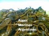 Alga Macrocystis fresca