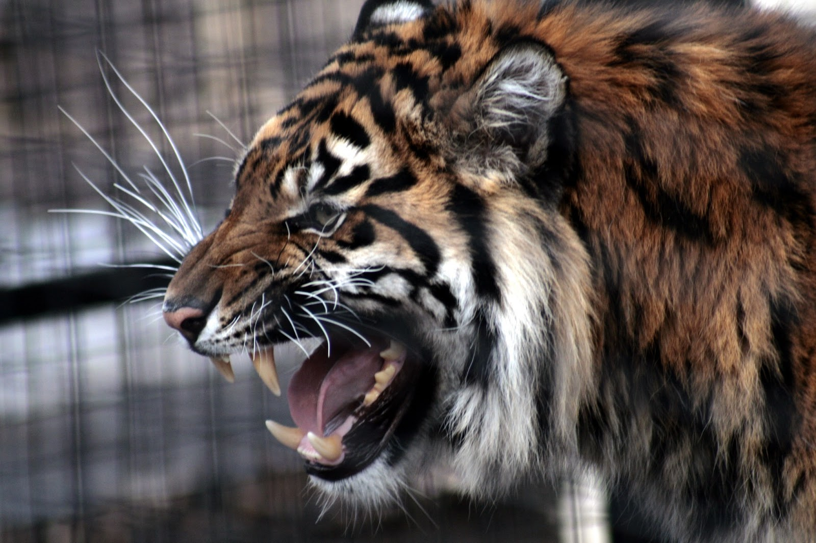 Cool Picture Collection 25 Beautiful Tiger Pictures