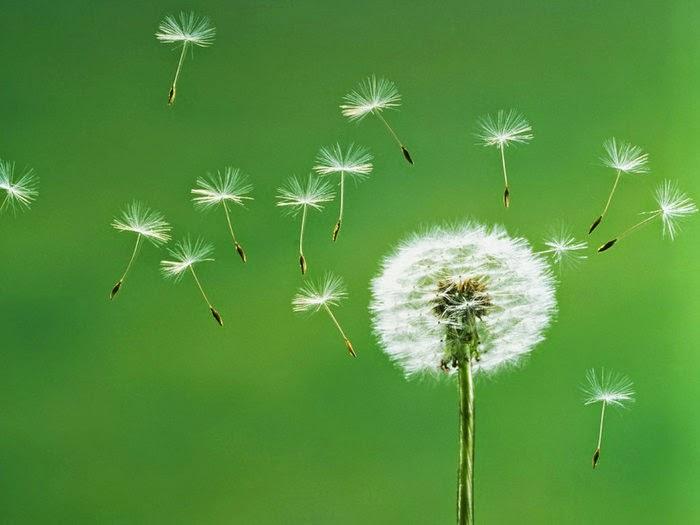 hoa bồ công anh trong gió đẹp nhất