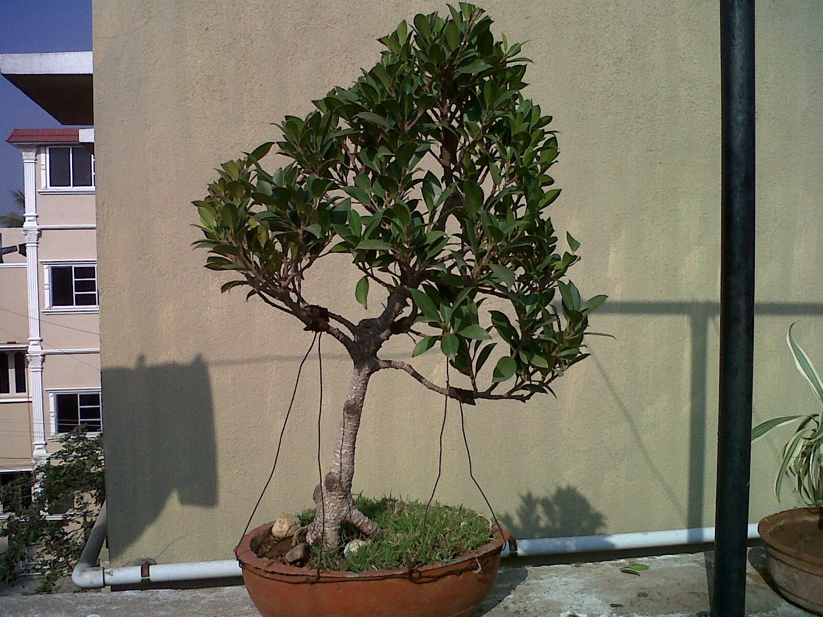Indian Bonsai
