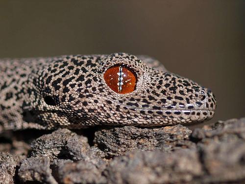 ojo gecko