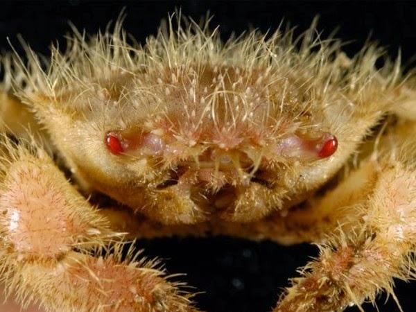 criaturas marinas cangrejo peludo