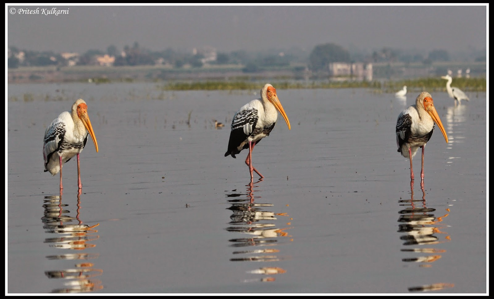 3 Idiots - Painted Stork