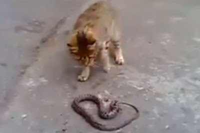 Courageous cat takes on slithering snake but who will win?
