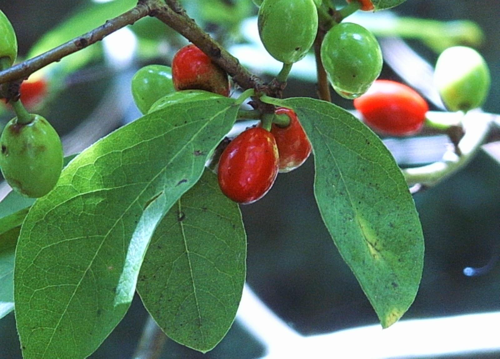 pinelands nursery lindera benzoin spicebush