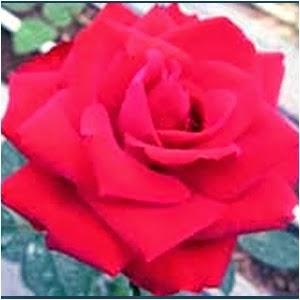 Bunga Mawar Megawati