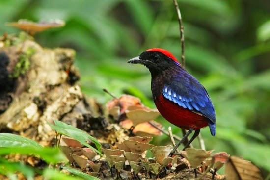 Foto Burung Kolibri Merah Terbaik