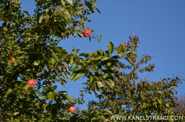 red apples on a tree in Norway