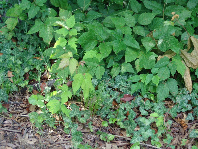 ... poison oak ... Poison Oak Whole Plant