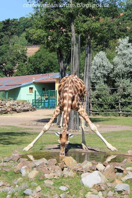 žirafa // a giraffe