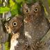 Owls in Kenya