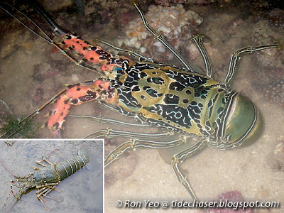 Spiny Lobsters & Allies (Infraorder Achelata)