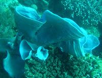 contoh praktikum pada taksonomi hewan di phylum Porifera
