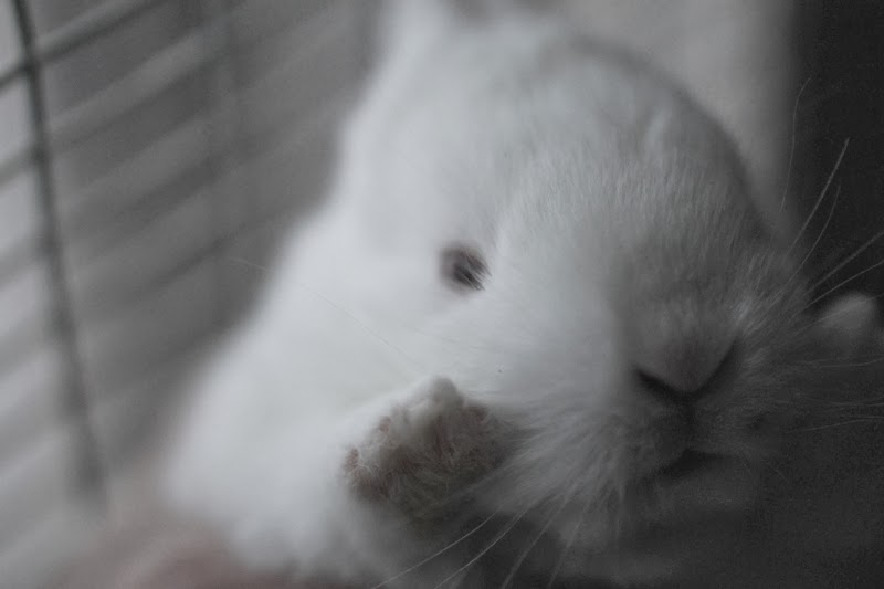 2-week old baby New Zealand White rabbit