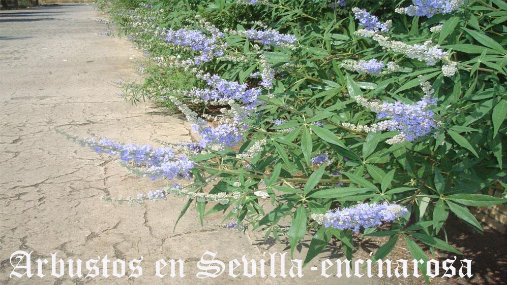 arbustosensevilla-encinarosa