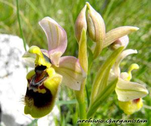 Garganistan Gargano Orchidee Ophrys tenthredinifera