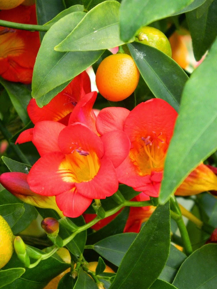 Red freesia kumquat Centennial Park Conservatory 2015 Spring Flower Show by garden muses-not another Toronto gardening blog