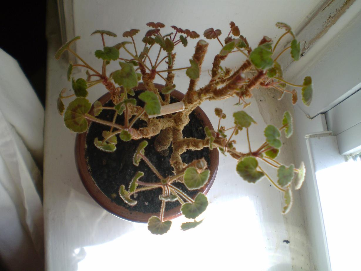 how to cut and replant geraniums
