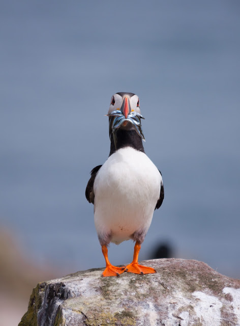 Puffin - Farne Islands, Northumberland