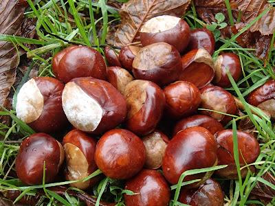 grzyby we wrześniu, grzybobranie we wrześniu, grzyby w podkrakowskich lasach, sziedzuń sosnowy, szmaciak gałęzisty, Sparassis crispa, podgrzybek czerwonawy, Xerocomellus rubellus, opieńka miodowa, Armillaria mellea, maślak sitarz, Suillus bovinus, Pieczarka łąkowa, pieczarka polna, Agaricus campestris, mleczaj chrząstka, Lactarius vellereus, muchomor zielonawy, Amanita phalloides