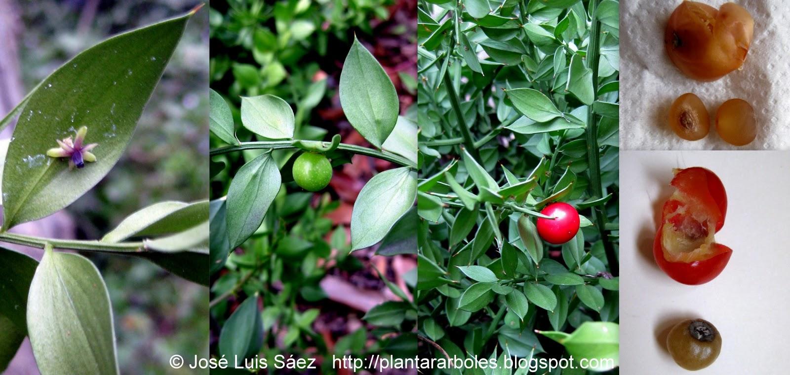 Flores frutos y semillas de labi rnago negro o prieto for Arbol de frutos rojos pequenos