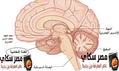 تعرف على وظائف الغدة النخامية Pituitary gland