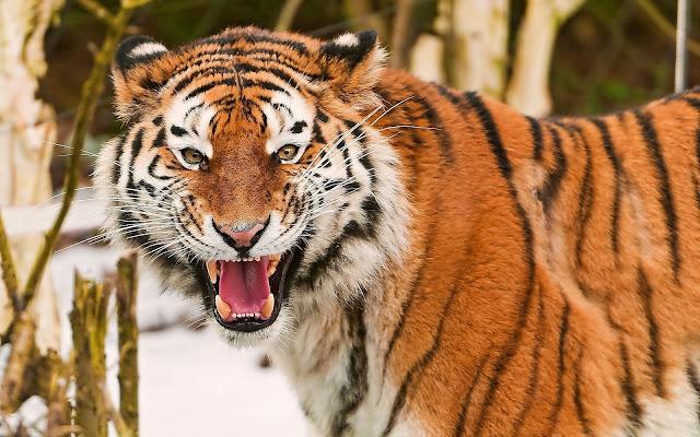 Fotos de Tigres en Invierno - Imagenes de Animales Salvajes