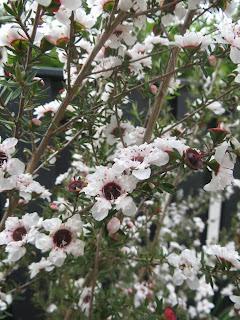 Manuka flowers (white_