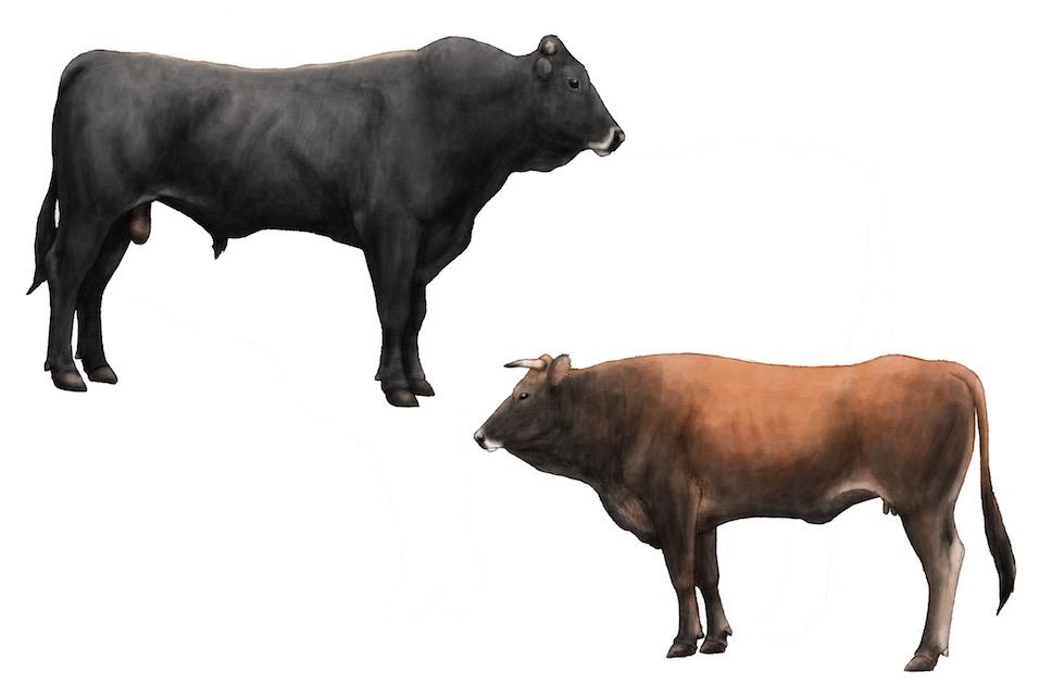 Chianina  Cattle Exchange