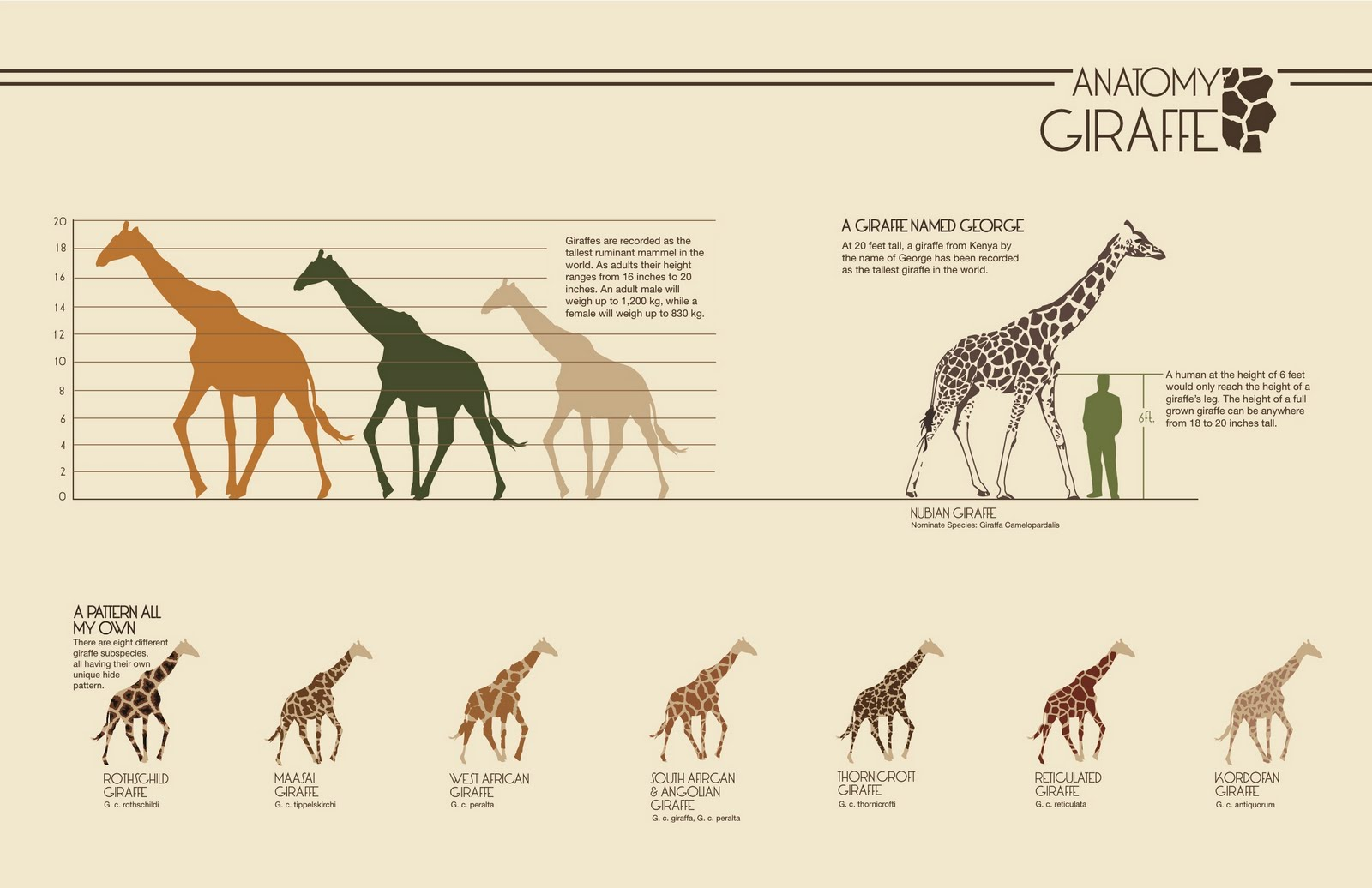 anatomy of a giraffe Most people think the giraffe is mute but the giraffe does have a larynx, or voice box compared to other animals, though, the giraffe's larynx is not very well.
