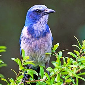 Read about real estate and Florida scrub jays on davidbarrhomes.com