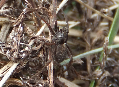 Thin Legged Wolf Spider