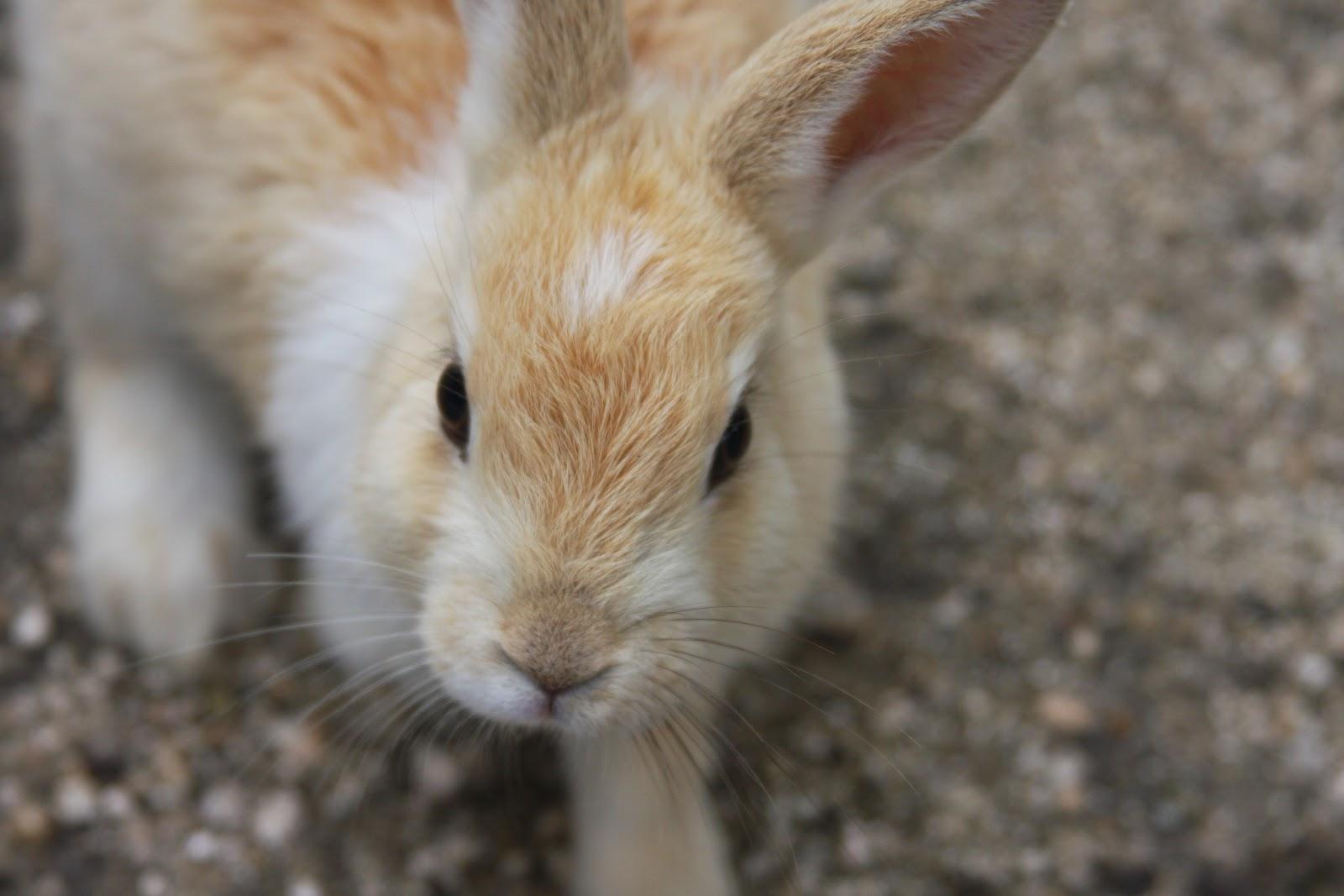 Rabbit Island Okunoshima Japan Bunny