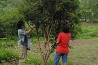 農村老爺民宿,樹葡萄成熟時