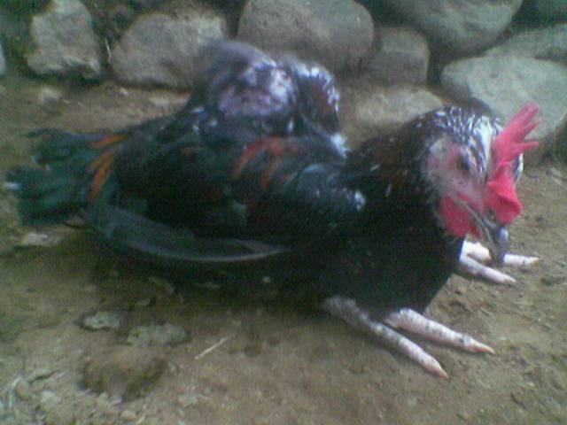 Faktor penyebab penyakit lumpuh pada ayam pelung