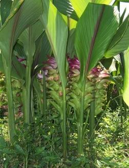 Manfaat dan khasiat tanaman temulawak