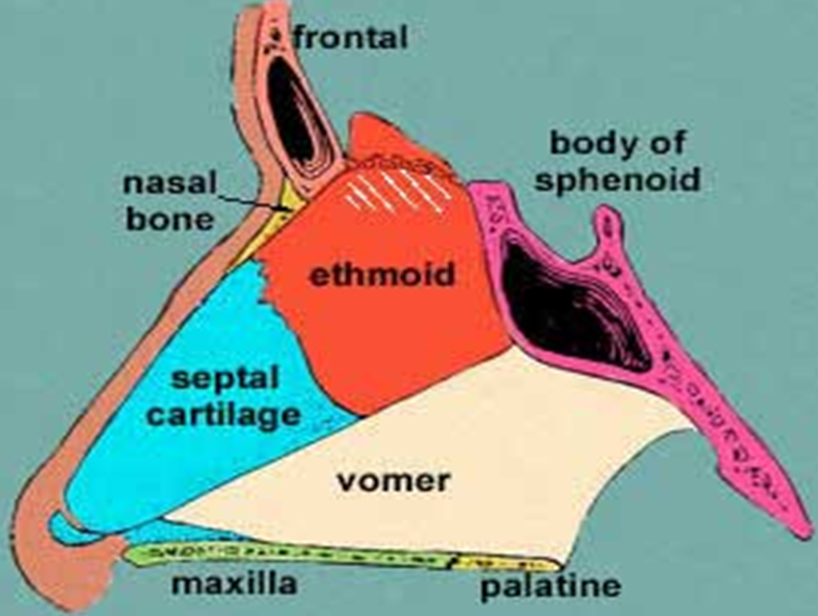 Mbbs medicine humanity first the respiratory system for Floor of nasal cavity