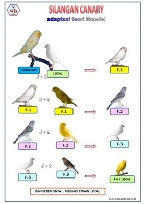 teori hasil silangan burung kenari