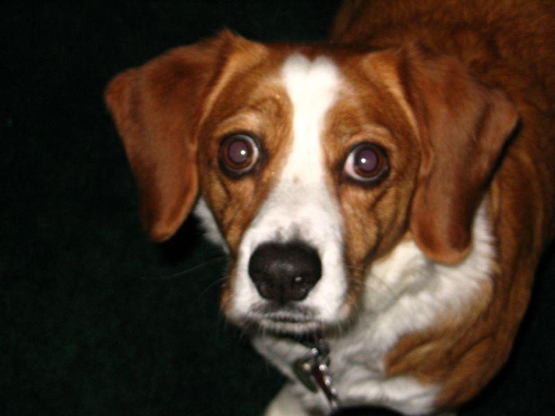 Beagle Chihuahua Mix | Beagle Puppy