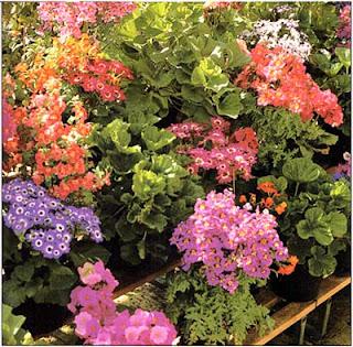 Такие растения, как схизантус и цинерарии, подарят вам настоящий праздник, если вы сможете обеспечить им хороши условия освещения и влажности.
