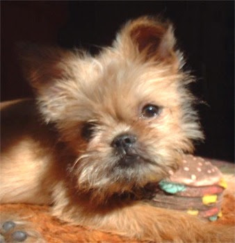 Brussels Griffon Puppies on Brussels Griffon Puppies Pictures   Puppies Pictures Online