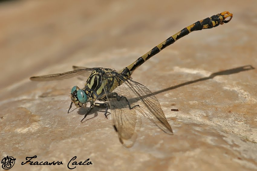 RARITA': Gonfo uncinato (Onychogomphus uncatus)