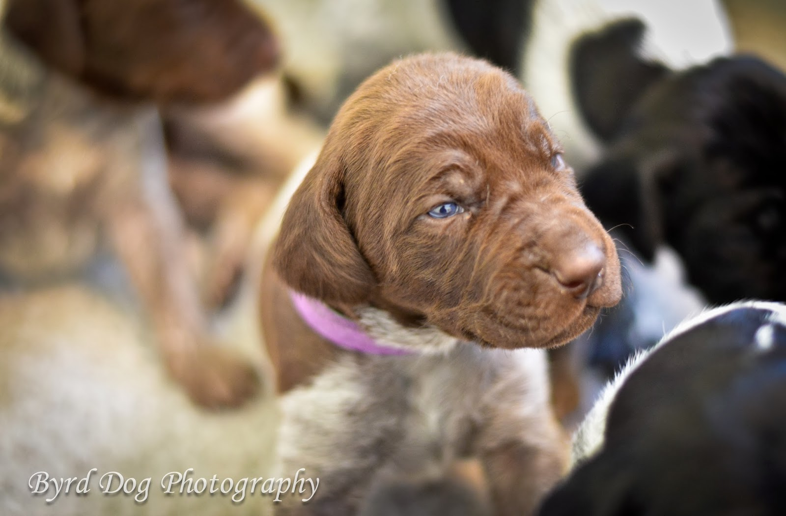 Adventures of a GSP Hunting Dog: Pupdate: Puppy Development and ...