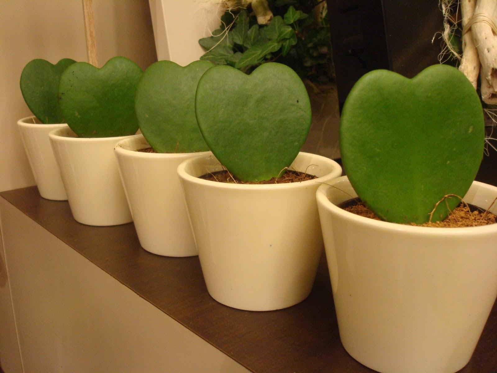 Fleuriste isabelle feuvrier hoya kerrii ou plante de la for Chaine de coeur plante entretien
