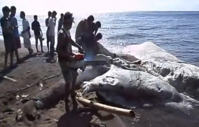 Criatura marina Gigante Sin Identificar Unidentified+Giant+Sea+Creatures+++Dauin+Negros+Oriental+Philippines+++YouTube