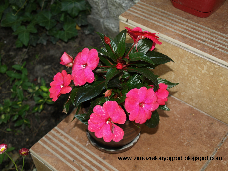 Zimozielony Ogród Kwiaty Ogrodowe W Doniczkach