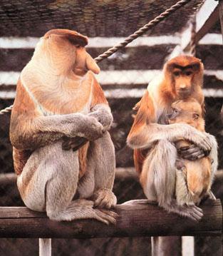 Amogoga Proboscis-monkey