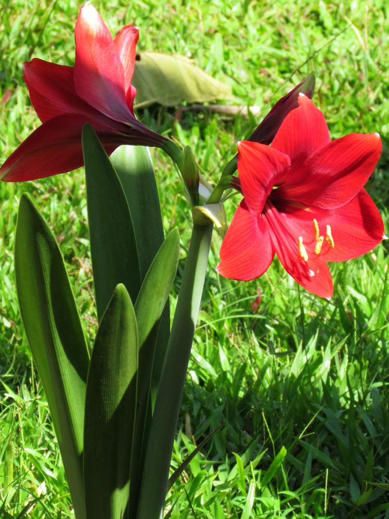 Red lily flower izmirmasajfo