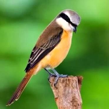 Foto Burung Cendet Jantan