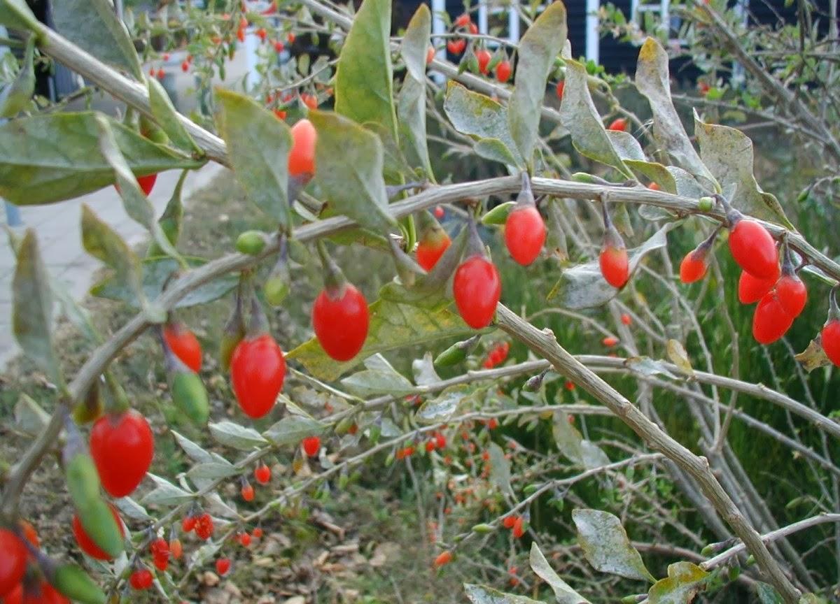 Чем полезны ягоды годжи, для профилактики и лечения каких заболеваний их применяют